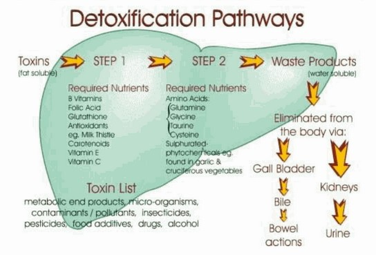 Detoxification to Lose Belly Fat Pathways